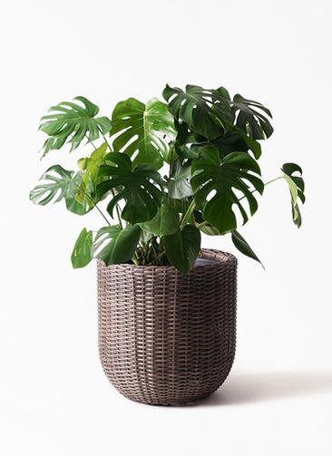 観葉植物 モンステラ 8号 ボサ造り ウィッカーポットエッグ 茶 付き