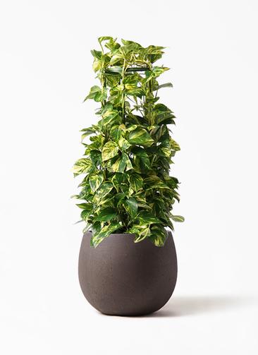 観葉植物 ポトス 8号 テラニアス ローバルーン アンティークブラウン 付き