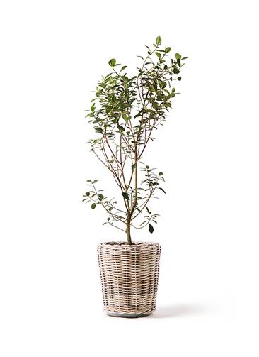 観葉植物 フランスゴムの木 10号 ノーマル モンデリック ラタン 付き