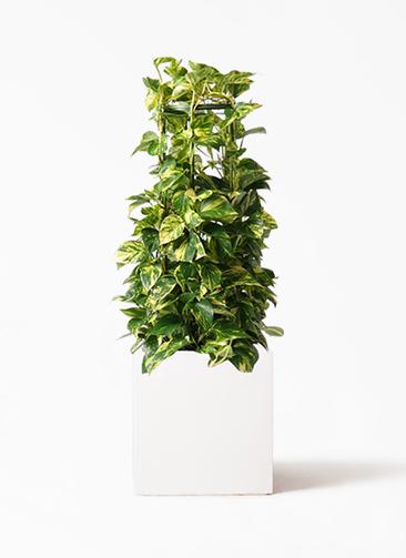 観葉植物 ポトス 8号 バスク キューブ 付き