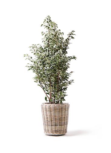 観葉植物 フィカス ベンジャミン 10号 スターライト モンデリック ラタン 付き