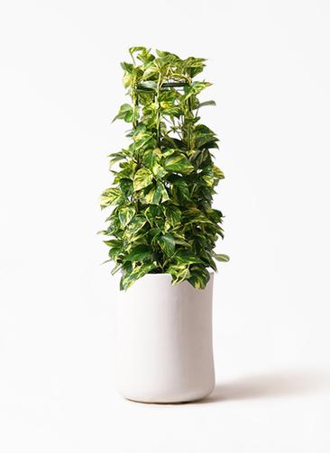 観葉植物 ポトス 8号 バスク ミドル ホワイト 付き