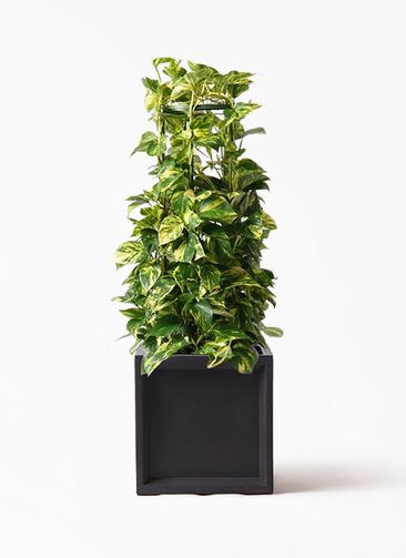 観葉植物 ポトス 8号 ブリティッシュキューブ 付き