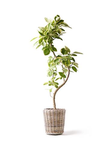 観葉植物 フィカス アルテシーマ 10号 曲り モンデリック ラタン 付き