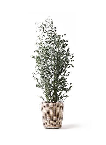 観葉植物 ユーカリ 10号 グニー モンデリック ラタン 付き