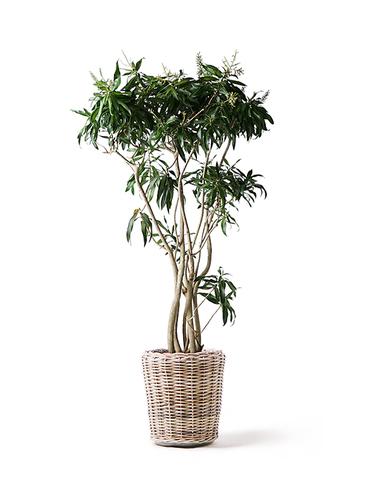 観葉植物 ドラセナ ソング オブ ジャマイカ 10号 モンデリック ラタン 付き