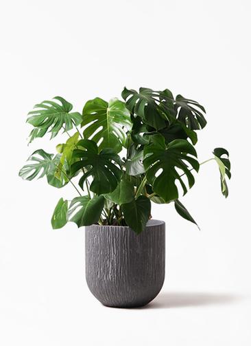 観葉植物 モンステラ 8号 ボサ造り カルディナダークグレイ 付き