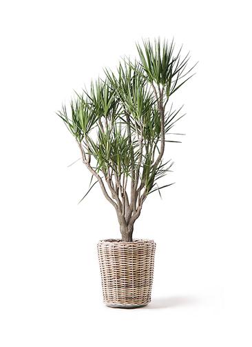 観葉植物 ドラセナ コンシンネ 10号 一本立ち モンデリック ラタン 付き
