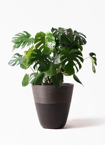 観葉植物 モンステラ 8号 ボサ造り ジュピター 黒 付き