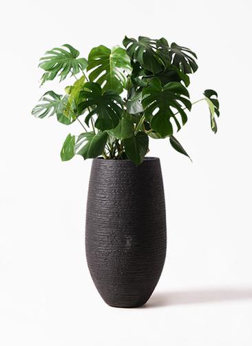 観葉植物 モンステラ 8号 ボサ造り フォンティーヌトール 黒 付き