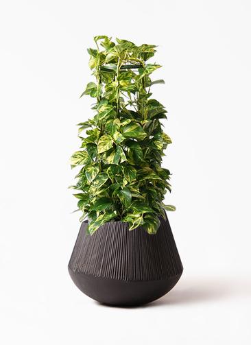 観葉植物 ポトス 8号 エディラウンド 黒 付き