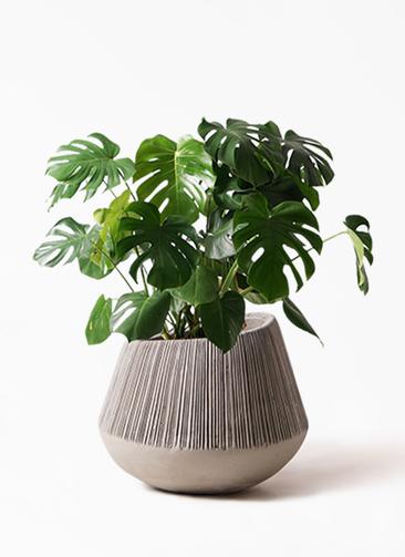 観葉植物 モンステラ 8号 ボサ造り エディラウンド グレイ 付き