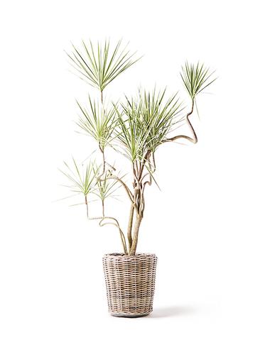 観葉植物 コンシンネ ホワイポリー 10号 曲り モンデリック ラタン 付き