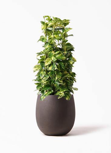 観葉植物 ポトス 8号 テラニアス バルーン アンティークブラウン 付き