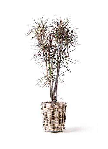 観葉植物 ドラセナ コンシンネ レインボー 10号 曲り モンデリック ラタン 付き
