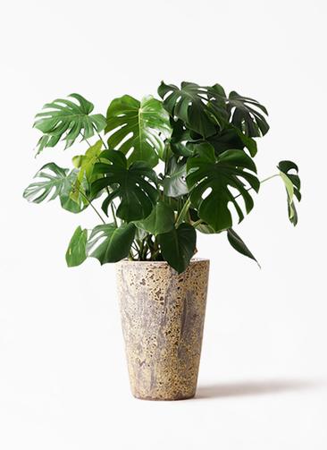 観葉植物 モンステラ 8号 ボサ造り アトランティス クルーシブル 付き