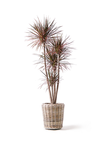 観葉植物 ドラセナ コンシンネ レインボー 10号 ストレート モンデリック ラタン 付き