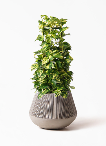 観葉植物 ポトス 8号 エディラウンド グレイ 付き
