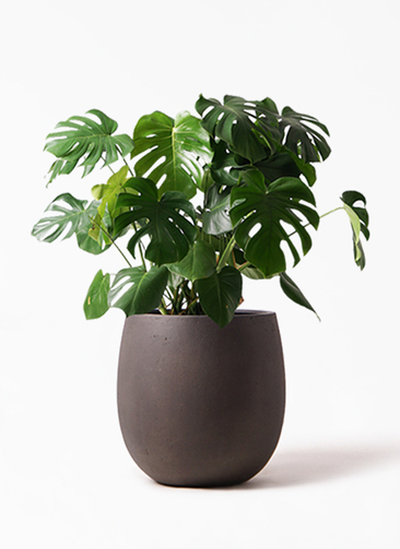 観葉植物 モンステラ 8号 ボサ造り テラニアス バルーン アンティークブラウン 付き