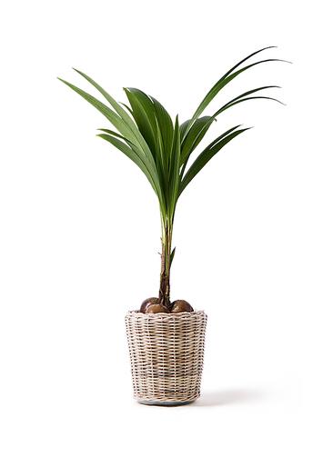 観葉植物 ココヤシ 10号 モンデリック ラタン 付き