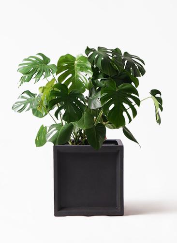 観葉植物 モンステラ 8号 ボサ造り ブリティッシュキューブ 付き