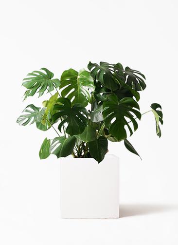 観葉植物 モンステラ 8号 ボサ造り バスク キューブ 付き