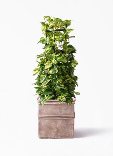 観葉植物 ポトス 8号 テラアストラ カペラキュビ 赤茶色 付き