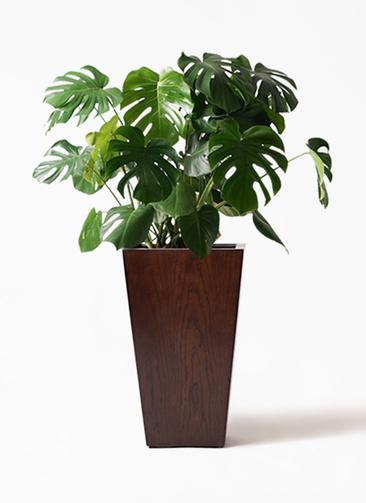 観葉植物 モンステラ 8号 ボサ造り MOKU スクエア 付き