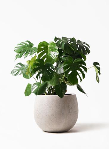 観葉植物 モンステラ 8号 ボサ造り テラニアス ローバルーン アンティークホワイト 付き
