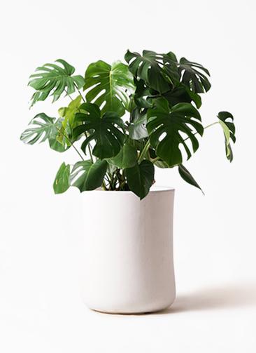 観葉植物 モンステラ 8号 ボサ造り バスク ミドル ホワイト 付き