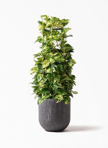 観葉植物 ポトス 8号 カルディナダークグレイ 付き