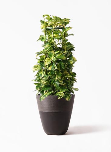 観葉植物 ポトス 8号 ジュピター 黒 付き
