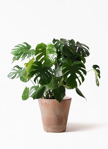 観葉植物 モンステラ 8号 ボサ造り ルーガ アンティコ ソリッド 付き