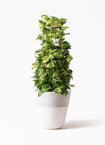 観葉植物 ポトス 8号 ジュピター 白 付き