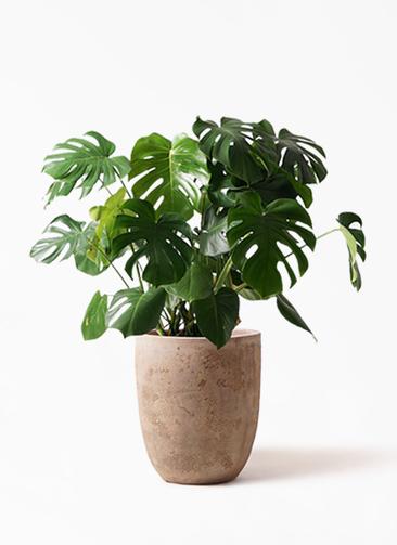 観葉植物 モンステラ 8号 ボサ造り ルーガ アンティコ アルトエッグ 付き