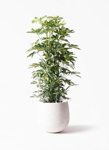 観葉植物 カポック(シェフレラ) 8号 斑入り エコストーンwhite 付き