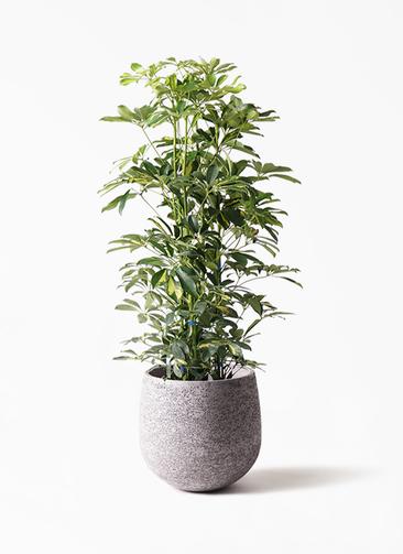 観葉植物 カポック(シェフレラ) 8号 斑入り エコストーンGray 付き
