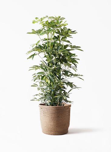 観葉植物 カポック(シェフレラ) 8号 斑入り リブバスケットNatural 付き