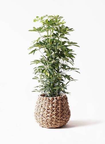 観葉植物 カポック(シェフレラ) 8号 斑入り ラッシュバスケット Natural 付き