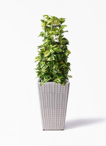 観葉植物 ポトス 8号 ウィッカーポット スクエアロング OT 白 付き