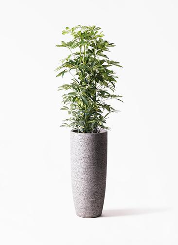 観葉植物 カポック(シェフレラ) 8号 斑入り エコストーントールタイプ Gray 付き
