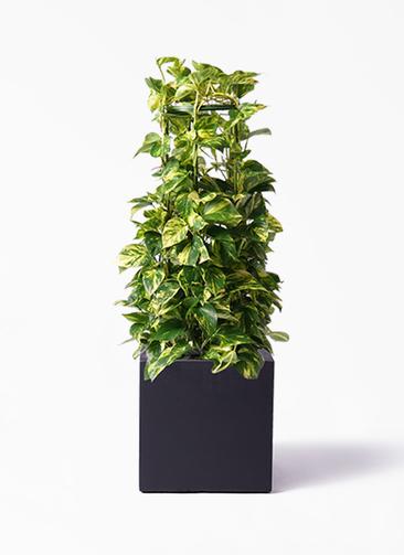 観葉植物 ポトス 8号 ベータ キューブプランター 黒 付き