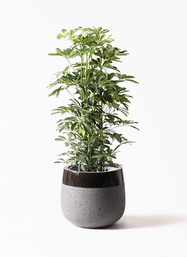 観葉植物 カポック(シェフレラ) 8号 斑入り ファイバーストーンタウルス 黒 付き
