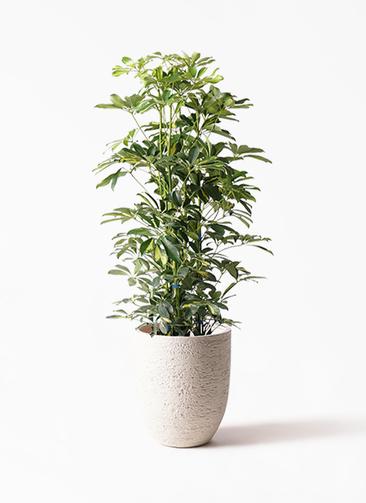 観葉植物 カポック(シェフレラ) 8号 斑入り ビアスアルトエッグ 白 付き