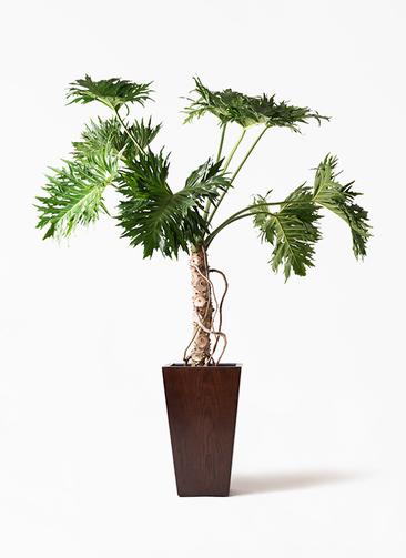 観葉植物 セローム ヒトデカズラ 8号 根あがり MOKU スクエア 付き