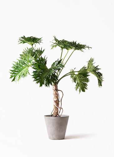 観葉植物 セローム ヒトデカズラ 8号 根あがり アートストーン ラウンド グレー 付き