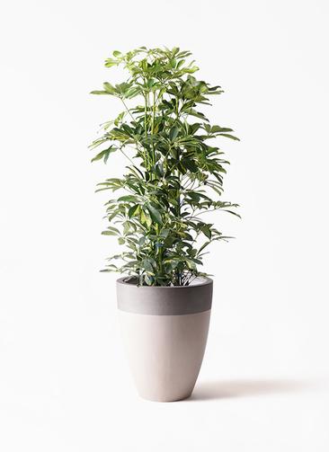 観葉植物 カポック(シェフレラ) 8号 斑入り ファイバーストーンカプリ サンディホワイト 付き