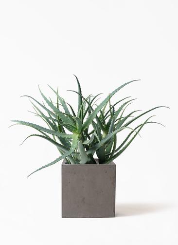 観葉植物 キダチアロエ 8号 8号コンカー キューブ 灰 付き