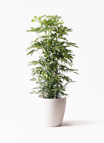 観葉植物 カポック(シェフレラ) 8号 斑入り ラスターポット 付き