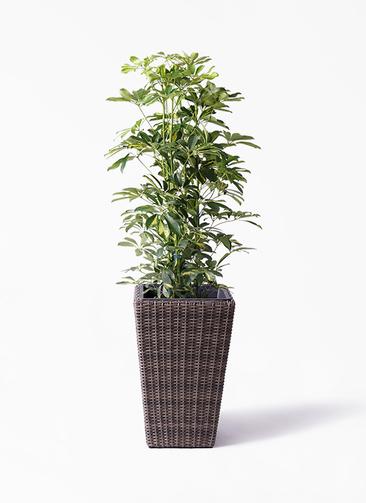 観葉植物 カポック(シェフレラ) 8号 斑入り ウィッカーポット スクエアロング OT 茶 付き